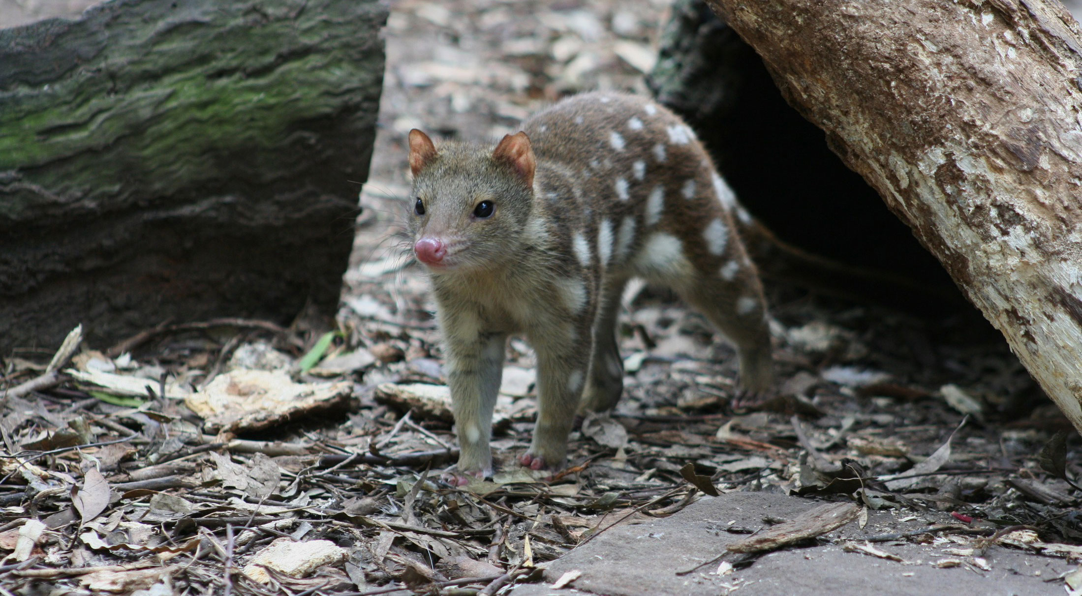 Project profile: Returning the Eastern Quoll to mainland Australia